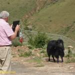 3134 wild yaks