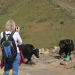 3135 wild yaks